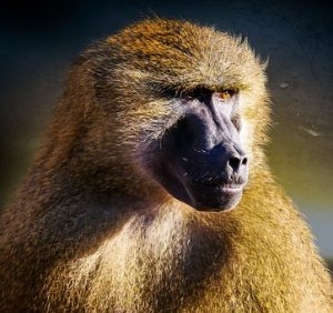 Picture of a baboon